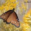 Queen Butterfly - 10/17/2017 - Watson Lake Riperian Area, Prescott AZ