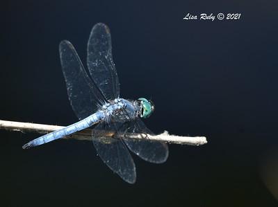 Blue Dasher Dragonfly (I think) - 7/19/2021 - Sabre Springs, Penasquitos Creek