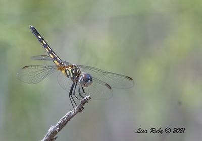 Marl Pennant Dragonfly  - 7/16/2021 - Penasquitos Creek, Sabre Springs
