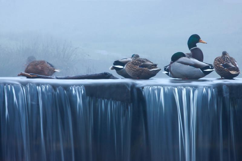 Mallards in Early Morning Mist on Waterfall