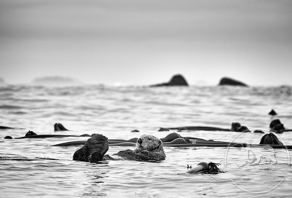 Sea Otter off Vancouver Island