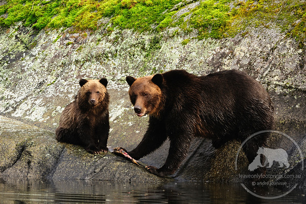 Grizzly Bear family sharing lunch, Great Bear Rainforest, British Columbia, Canada