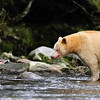 Spirit Bear, Great Bear Rainforest, British Columbia, Canada