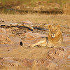 Young male lion, Kruger National Park, South Africa