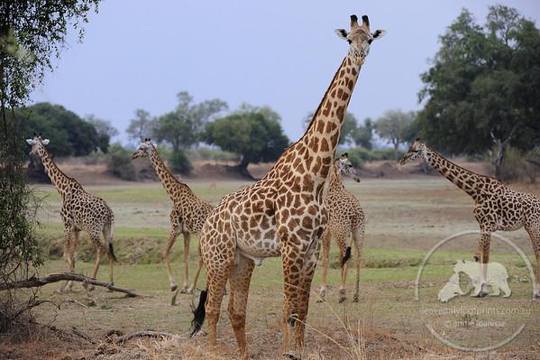 Giraffes, South Luangwa National Park, Zambia