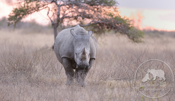 White rhinoceros at sunset, Kruger National Park, South Africa
