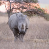 White rhinoceros at sunset, Kruger National Park, South Africa