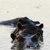 Hippopotamus, South Luangwa National Park, Zambia