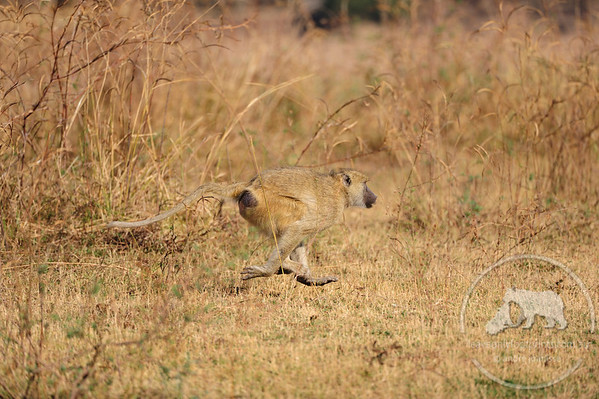 Baboon on the run, South Luangwa National Park, Zambia