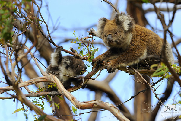 Koala family feeding in Great Otways National Park