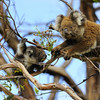 Koala family feeding in Great Otways National Park