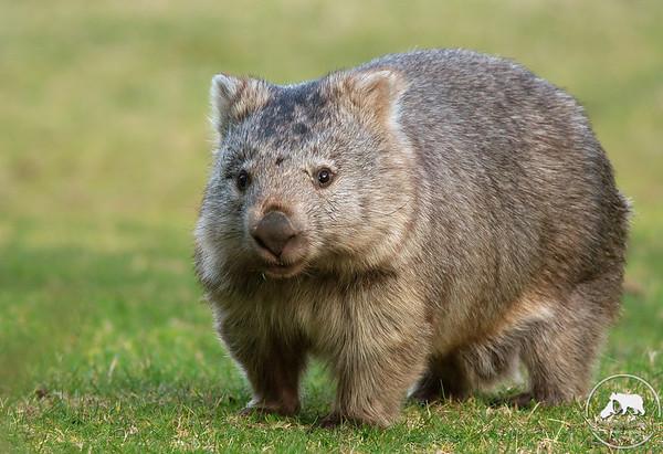 Wombat, Wilsons Promontory National Park, Victoria