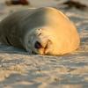 Australia Sea Lion, Kangaroo Island, South Australia
