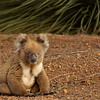 Koala on Kangaroo Island, South Australia