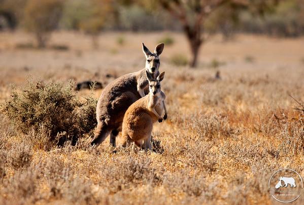 Red Kangaroos in Mungo National Park, NSW