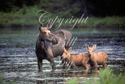 Cow Moose & Twins