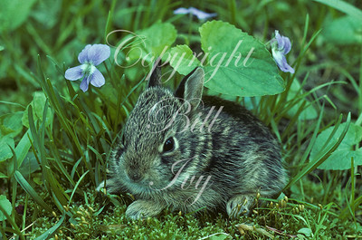 Eastern Cottontail Rabbit under Violets