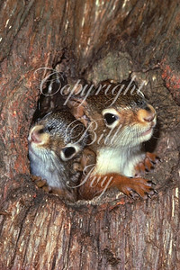 Young Red Squirrels