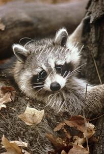 Racoon in autumn