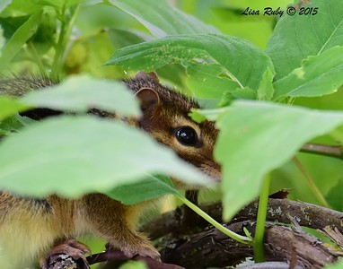 Chipmunk - 6/27/2015 - Decorah Iowa Fish Hatchery