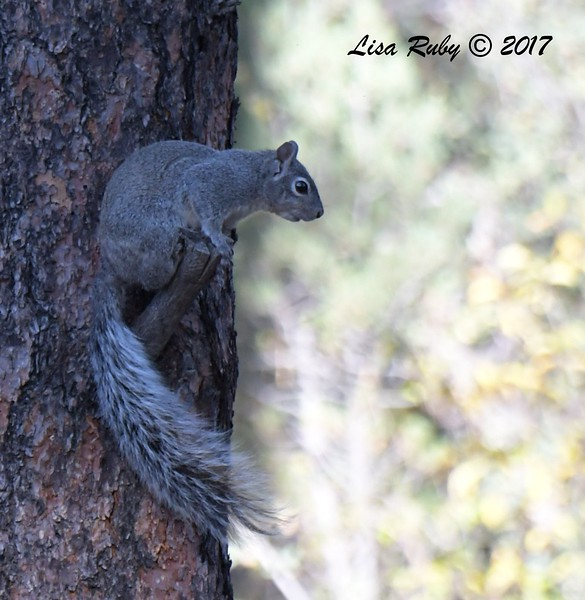 Tree squirrel (gray?) - 10/16/2017 - Wickwood Lane, Prescott, Arizona