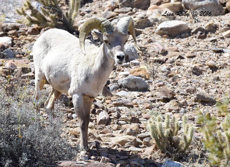 Bighorn Sheep - 4/3/2016 - Agua Caliente County Park