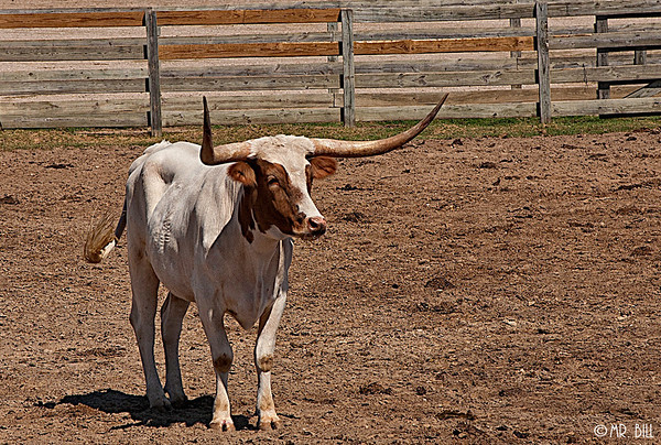 Steers @ Stockyards in Ft. Worth