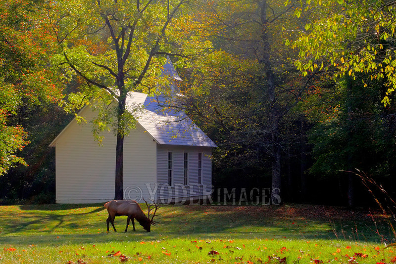 North American Elk (Cervus elaphus) in front of the Palmer Chapel, Cataloochee Valley, North Carolina.