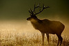North American Elk (Cervus elaphus)