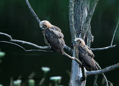 Great Horned Owls (Juveniles)