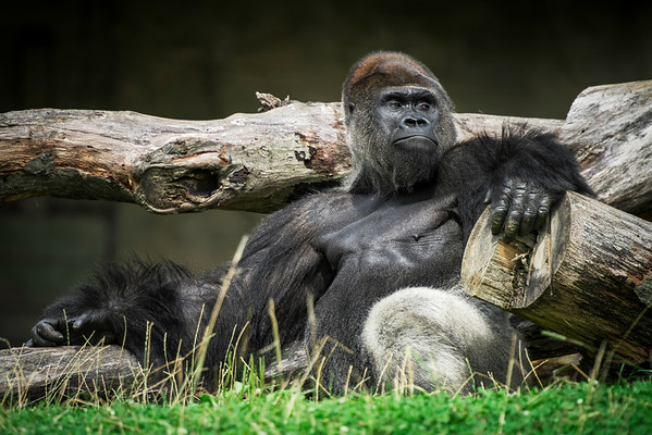 """Chilla the Gorilla"" - Pittsburgh Zoo   Recommended Print sizes*:  4x6  