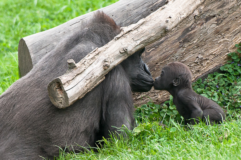 """""""Gorilla Kisses"""" - Pittsburgh Zoo   Recommended Print sizes*:  4x6  