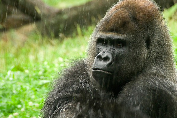 """""""Gorilla in the MIst"""" - Pittsburgh Zoo   Recommended Print sizes*:  4x6  