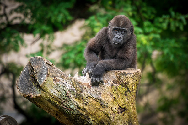 """Back When I Was a Young Gorilla.."" - Pittsburgh Zoo   Recommended Print sizes*:  4x6  