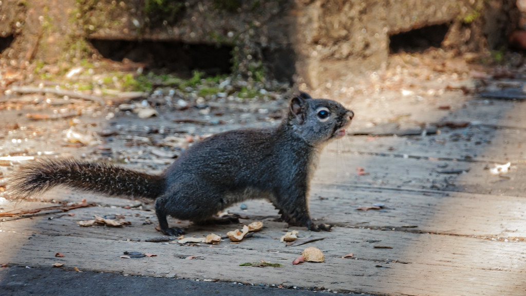 Squirrel startled while looking for food.