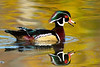 Male Wood Duck (Aix sponsa) - Breeding plumage
