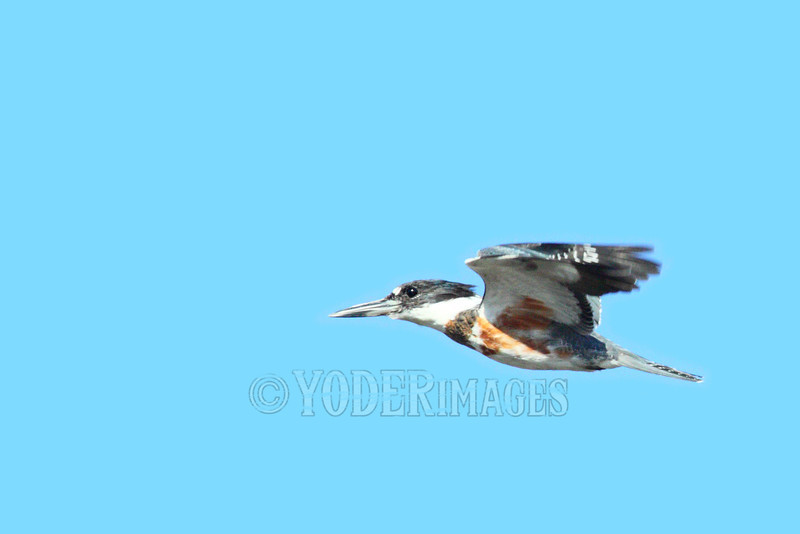 Belted Kingfisher (Ceryle alcyon) in flight