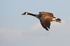 Canadian Goose (Branta canadensis)<br /> With leg band!
