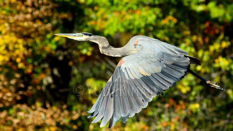 Great Blue Heron (Ardea herodias) in flight