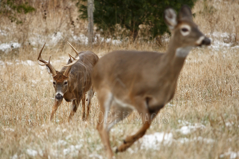 Whitetail deer (Odocoileus virginianus)<br /> An 8-point buck chases after a doe during the rut.