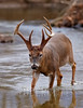Whitetail deer (Odocoileus virginianus)<br /> Game & Fish Magazine, October 2016