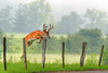 Whitetail deer (Odocoileus virginianus)<br /> Great Smoky Mountains Association Calendar, June 2013
