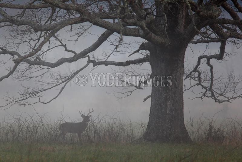Whitetail Deer, Cades Cove, Great Smoky Mountains National Park