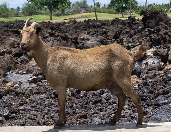 Hawaiian Goat // Waikola