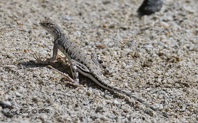 Zebra-tailed Lizard - 4/14/2019 - Agua Caliente COunty Park Marsh Trail