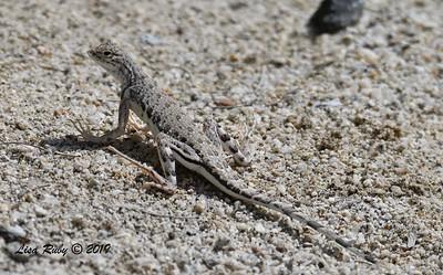Zebra-tailed Lizard - 4/14/2019 - Agua Caliente COunty Park Marsh Trail