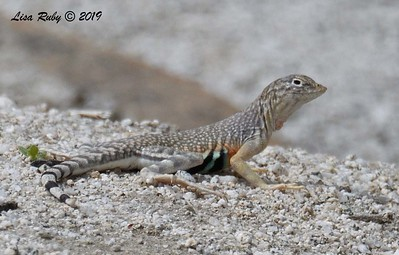 Zebra-tailed Lizard - 4/14-2019 - Agua Caliente County Park Marsh Trail