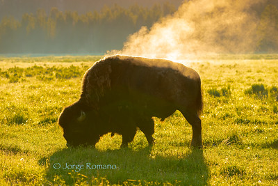 Bison grain in a cold morning as morning Sun evaporates skin moisture