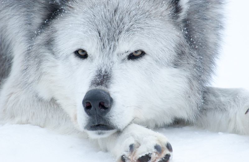 Lonely Eyes Of The Wolf