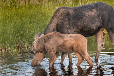 "Moose with calf ""cuddling"" and drinking in the Snake River, Grand Teton National Park"